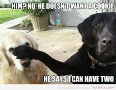 Kết quả hình ảnh cho labrador funny