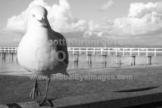 Seagull on a fence 2. Seagull on a fence with Sorrento pier in the background. Photograph By Scott K Kurtini #BirdsPhotography