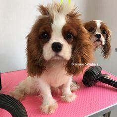 いいね!418件、コメント7件 ― Jenny Ipさん(@eclipse_thecav)のInstagramアカウント: 「 #dog #dogs #dogsofinstgram #dogsofinsta #doglovers #doglife #pet #pets #petstagram…」