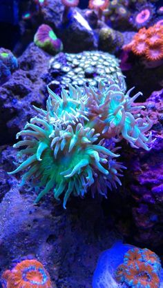 Duncan corals in his EcoPico Reef Aquarium. They wold make a great addition to our tank :) Marine Aquarium, Reef Aquarium, Saltwater Aquarium, Saltwater Tank Setup, Aquarium Craft, Marine Fish Tanks, Home Aquarium, Planted Aquarium, Saltwater Fishing