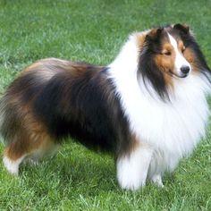 Shetland Sheepdog - Small Dog Breed | Dog Fancy
