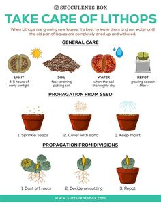 How to take care of Lithops - Succulents Box Types Of Succulents Plants, Propagating Succulents, Succulent Gardening, Succulent Care, Succulents In Containers, Cacti And Succulents, Planting Succulents, Succulent Planters, Succulents Wallpaper