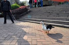 A duck on a leash: I've always wanted a duck on a leash