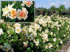 The beautiful pale apricot tones of Crepesculé (noisette)