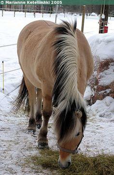 Norwegian Fjord - gelding Harald III - untrimmed mane