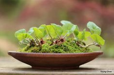 Kusamono gingers in a bowl dish, by Young Choe. Bog Plants, Garden Plants, Indoor Plants, House Plants, Moss Garden, Bonsai Garden, Container Plants, Container Gardening, Christmas Fern