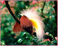 Cendrawasih, the bird of paradise