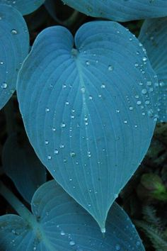 """Hostas, """"Halcyon"""", the bluest of the blues!  (..cr...I have this one)"""