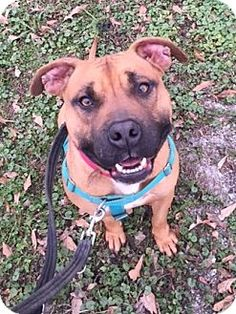 Pictures of Tucker [Foster Me?] *FULLY-TRAINED & Snuggly* a Boxer/Bullmastiff Mix for adoption in Decatur, GA who needs a loving home.
