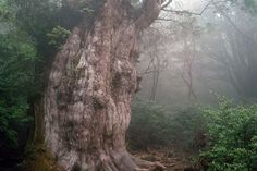 """The misty """"primary forests"""" of Japan's Yakushima island are perhaps best known for their stock of long-living Japanese cedar (Cryptomeria japonica)."""