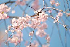 #桜 #警固公園