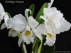 Cattleya Trianae, the Colombian flower