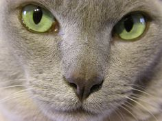 Austin Healey (lilac Burmese).  I'm not a big cat person, but this cat is gorgeous.