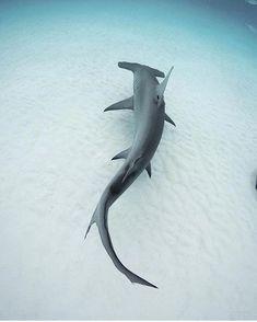 Shark Pictures, Shark Photos, Underwater Creatures, Ocean Creatures, Save The Sharks, Shark Tattoos, Hammerhead Shark Tattoo, Shark Art, Tier Fotos