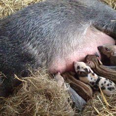 "Organic Family Farm |wwoofing| (@thelittleflockfarm) on Instagram: ""She is an amazing mother""  WildBoar cross"