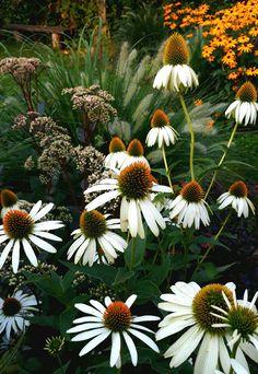 Perennial border with an old wooden bench in dawn light (Echinacea purpurea 'Alba', Sedum telephium 'Matrona', Pennisetum alopecuroides 'Hameln', Rudbeckia fulgida 'Goldsturm')