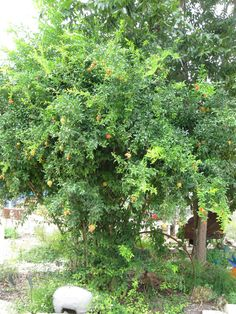 Basic Fruit Trees for Central Texas and Simple Tips to Keep Them Thriving | Easy Texas Gardens