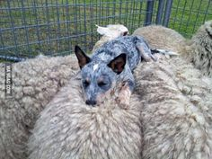 Rescued puppy sleeping atop some sheep she herded by HOLLACHE