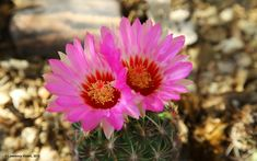 Thelocactus bicolor v. schwartzii, cultivated