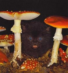 Tiny black kitten hiding in the mushrooms. What a great Halloween picture!
