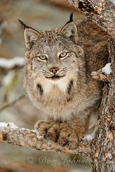 Canadian Lynx by Don Johnston