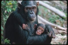Mother chimpanzee with her baby