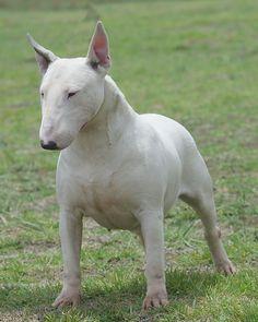 1000+ images about Bedlington Terrier, Bull Terrier, Fox Terrier (Wire ...