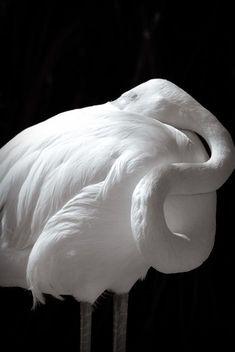 An Albino Flamingo