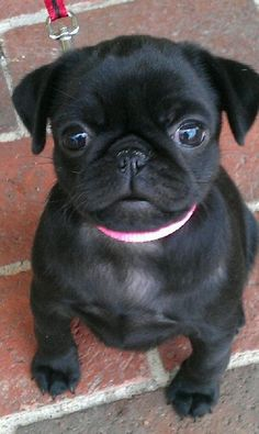 Cuteness pugsonified!