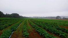 Visita técnica ao sítio A Boa Terra- XLI Secitap: s3 agropecuaria orgânica e sustentabilidade. #organic #organicos #lavoura #agronomia #sítioaboaterra #agroémais #sustentabilidade #agronomiabrasil #botanica #verde by giovanasgobbe http://ift.tt/1NFgg5L