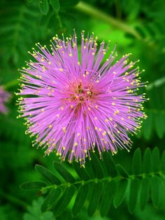 Fabaceae : Mimosa (previously Schrankia) microphylla - Littleleaf Sensitive-briar (Catclaw sensitive briar) flower by William_Tanneberger, via Flickr
