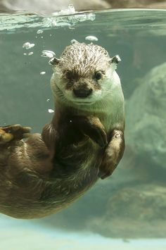 Esther Williams Has Nothing on Otter  Thanks, kashiwaya920! (a whole blog JUST on Otters- how wonderful!)