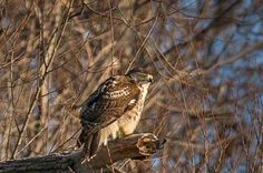 There has been a great deal of activity along the Holland Canal this month (January 2016).   Large nests and a number of birds, including a Snowy Owl,