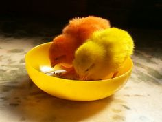 Busy eating their favourite meal..♡ #cute #adorable #chick