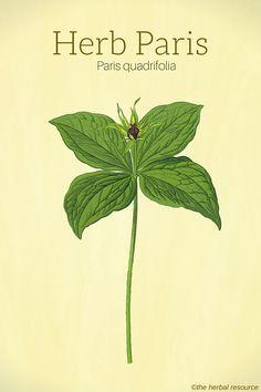 Herb Paris (Paris quadrifolia)