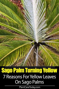 Sago Palm Turning Yellow- We share 7 Reasons Why Sago fronds turn yellow? From insects, soil, fertilizing, sunburn, overwatering with [DETAILS] Trees And Shrubs, Trees To Plant, Sago Palm Care, Palm Trees Landscaping, Landscaping Ideas, Potted Palms, Palm Tree Leaves, Fake Plants Decor, Florida Gardening