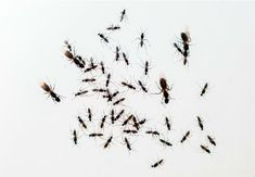 How to Get Rid of Flying Ants Home Remedies For Flies, Flying Ants, Get Rid Of Flies, All About Plants, Garden Solutions, Bob Vila, Pest Control, Helpful Hints, Bugs