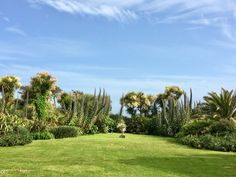 The moderate climate of West Corwnall allows the dramatic Echiums to prolifically self seed