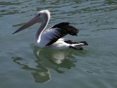 Many Pelicans there in Australia~ Starry says hang on to your food!