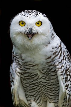 ~~Snowy owl by Tambako the Jaguar~~