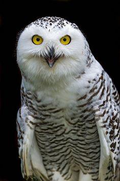 ~~Snowy owl by Tambako the Jaguar~~