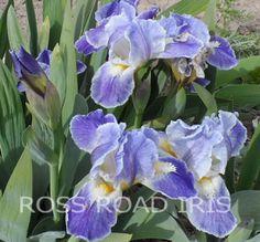 Standard Dwarf Bearded Iris - ICE ETCHING - Pre-Sale Iris Rhizome picclick.com