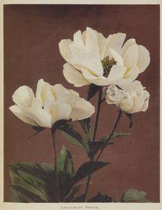 dame-de-pique:  Kazumasa Ogawa - Hærdaceous Pæony, 1896