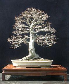 Carpinus betulus, European hornbeam  70 cm high  Pot by Derek Aspinall