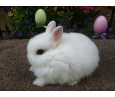 midget baby pets for sale | Netherland Dwarf Baby Bunnies is a Baby For Sale in Brea CA