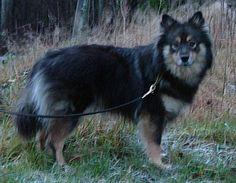 finnish Lapphund photo | Finnish Lapphund Dog Breed Puppies