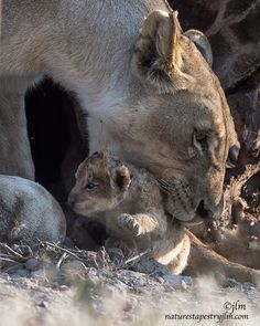 Lion Mom Saved The Day !!! by Judylynn Malloch : It didn't take long for mom to respond to the cries of her little one and she was there within a minute.