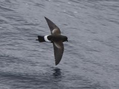 Wilson's Storm Petrel Oceanites oceanicus - Google Search