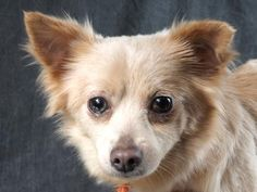 Adopt Foxy, a lovely 1 year  5 months Dog available for adoption at Petango.com.  Foxy is a Chihuahua, Long Coat and is available at the National Mill Dog Rescue in Colorado Springs, Co.  www.milldogrescue.org