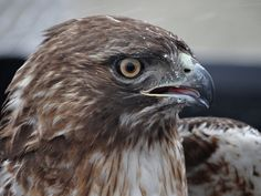 Red-tailed Hawk released at Powell Gardens, Kansas City's botanical garden, via Flickr